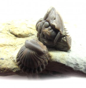 trilobites-flexi