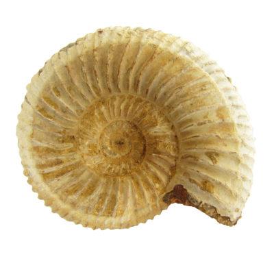 Perisphinctus Ammonite