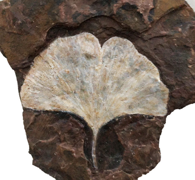 Claudia's Ginko Fossil
