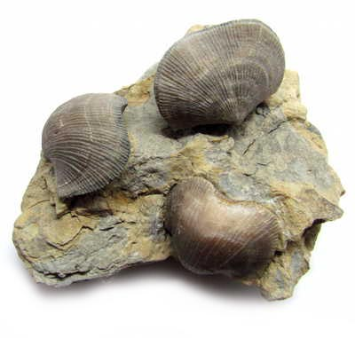 brachiopods affordable fossils rocks minerals and educational