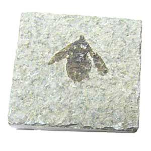 Insect Fossil