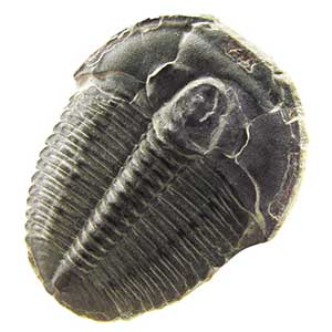 Trilobites of the Wheeler Shale Formation