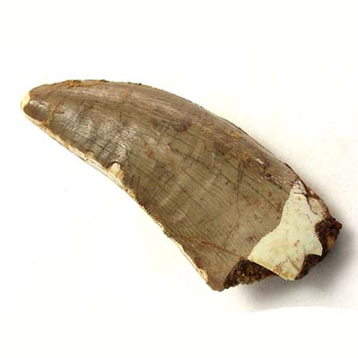 Carcharodontosaurus Tooth 2 inches #03