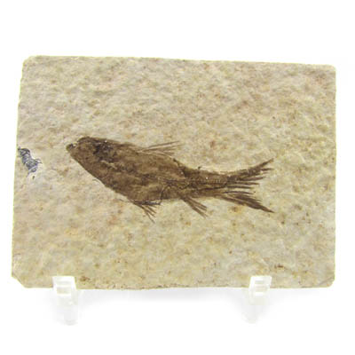 "Green River Knightia Fish Fossil ""Mini""A"