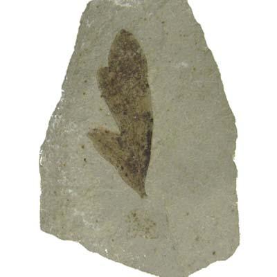 Leaf Fossil-Cardiospermum coloradensisi-Eocene D