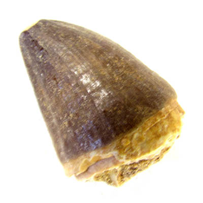 Mosasaur Tooth 1.5 inches long a
