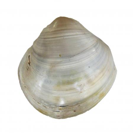 Fossil Clam from Madagascar