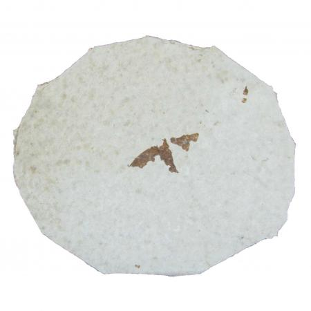 insect fossil  With Stand A