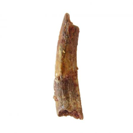 Pterosaur Tooth E Siroccopteryx moroccensis