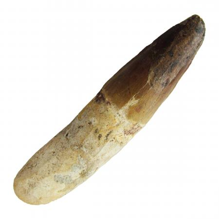 Spinosaurus Tooth 4 inches B