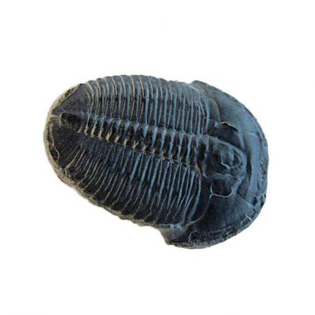 Trilobite of Wheeler Shale