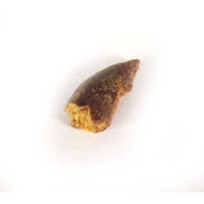 Raptor tooth I