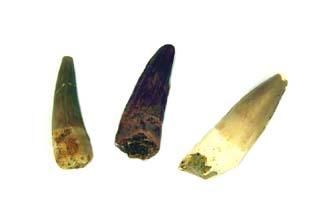 Spinosaurus Tooth Small