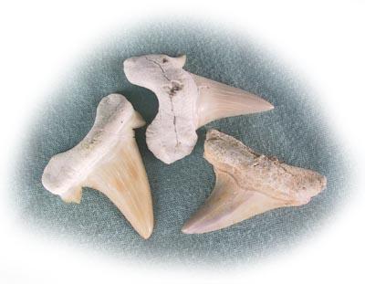 Chubby shark ancient teeth 13