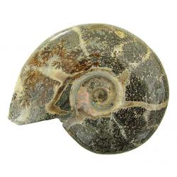 Ammonite Polished 3 inch D