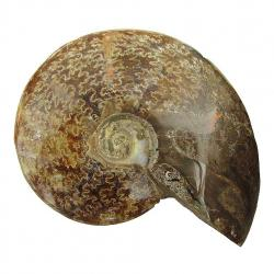 Ammonite Polished 3.5 inch F