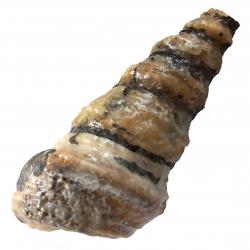 Gastropod Cassiope Large