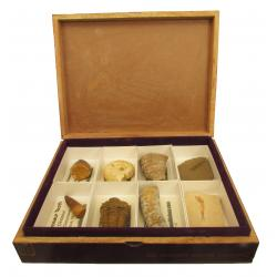 The Wooden Cigar Box Fossil Collection 8pc A