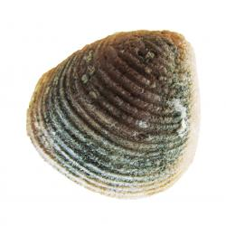 Fossil Clam Morocco