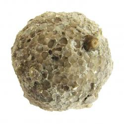 Fossilized coral Favosites forbesi