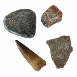 The Dinosaur Collection with 2 In Spinosaur Tooth-B