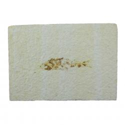 Knightia Fish Fossil With Stand From the Green River Formation D