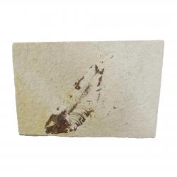 Knightia Fish Fossil With Stand From the Green River Formation J