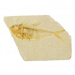 Knightia Fish Fossil With Stand From the Green River Formation N
