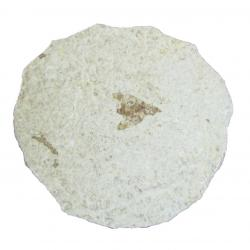 Insect Fossil With Stand F