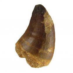 Mosasaur Tooth 1.75 inches long  G
