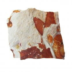Glossopteris Browniana Leaf Fossil 3 small