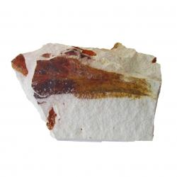 Glossopteris Browniana Leaf Fossil 4 small