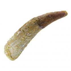 Large Pterosaur Tooth Not Described D