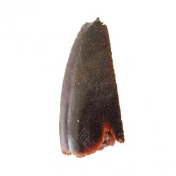 raptor tooth
