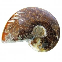 Ammonite Polished 6-8 cm K