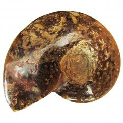 Ammonite Polished 6-8 cm Q