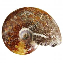 Ammonite Polished 3 inch J