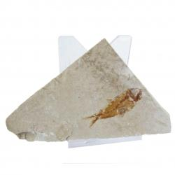 Hakel Fish Fossil with stand