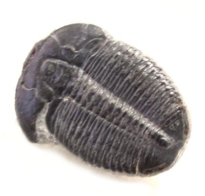 Trilobite, Elrathia Kingi, With cheeks, Wheeler Shale