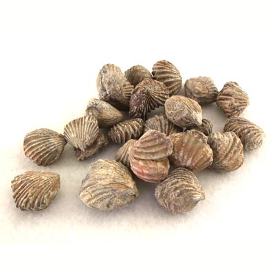 Wholesale Rhynchoellida Brachiopods Classroom Pack of 20