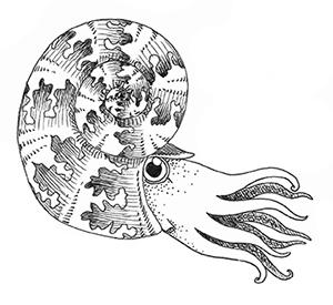 ammonite drawing