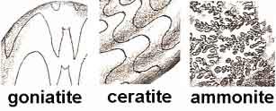 ammonite suture patterns